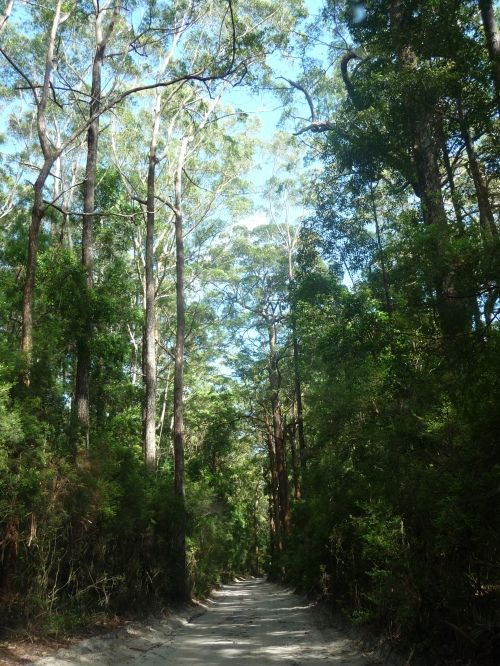 Some of the beautiful trees on Fraser Island